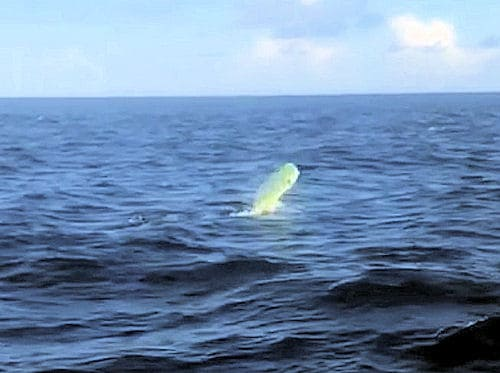 big bull dolphin jumps after being hooked on the Southbound