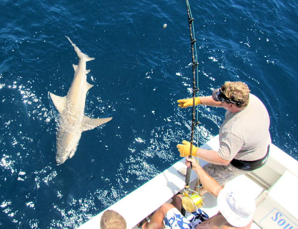 Carribean Reef Shark caught and released in Key West fisihing on charter boat Southbound