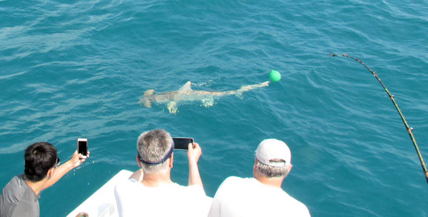 Hammerhead Shark caught and released in Key West fishing on charter boat Southbound