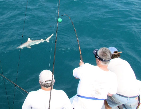 Shark caught and released in Key West fishing on charter boat Southbound