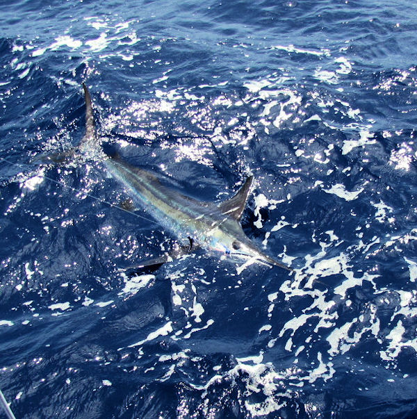 White Marlin caught in Key West fishing on Charter Boat Southbound