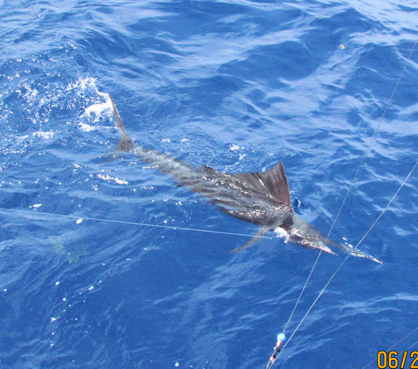 Sailfish next to the boat in Key West fishing on charter boat Southbound