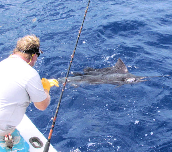 Sailfish caught and released in Key West on charter boat Southbound