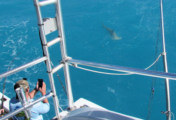 100lb Hammerhead Shark caught and released in Key West fishing on charter boat Southbound
