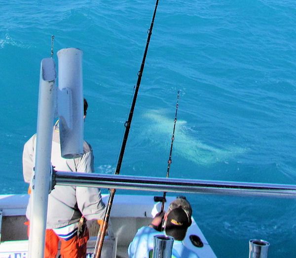8 ft Hammerhead Shark caught and released in Key West fishing on charter boat Southbound