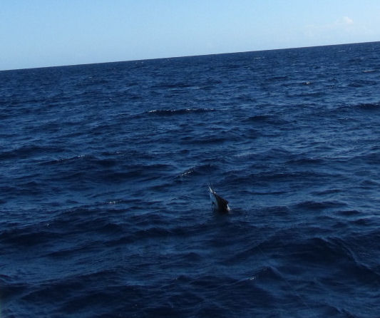 Sailfish jumping while being caught fishing Key West on charter boat Southbound from Charter Boat Row Key West