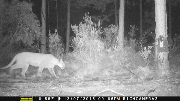 Florida Panther on my hunting lease