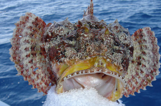 Scorpion Fish caught aboard Southbound in Key West Florida in 2005