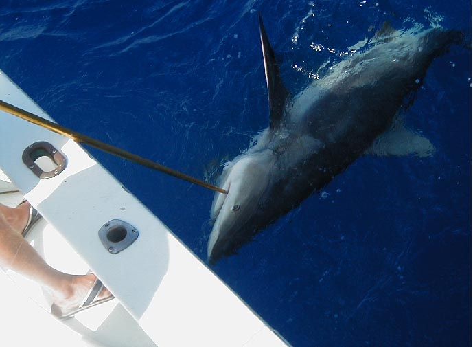 Best Shark caught aboard Southbound in Key West Florida in 2003