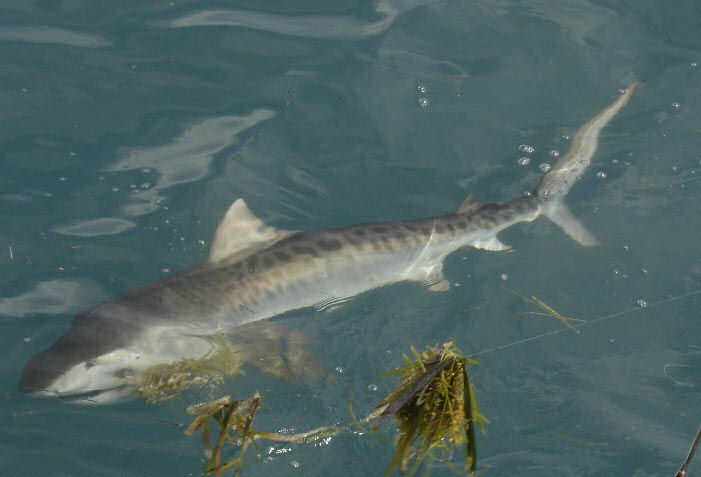 Tiger Shark caught aboard Southbound in Key West Florida in 2005