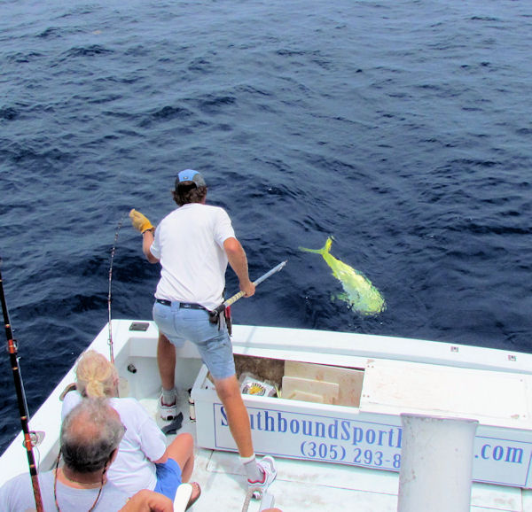 29lb Dolphin about to be gaffed while in Key West fishing on charter boat Southbound from Charter boat row
