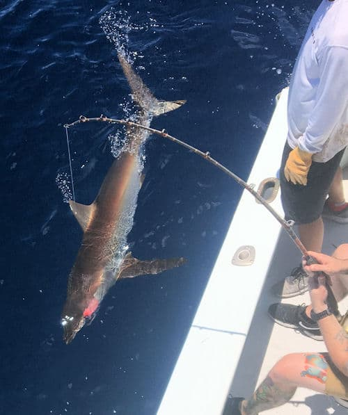 Large Dusky Shark caught and releae offshore of Key West Florida